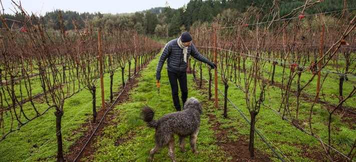 Person in a vineyard walking with their dog