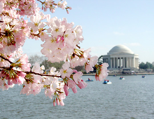 Photo of the Jefferson Memorial and cherry blossoms